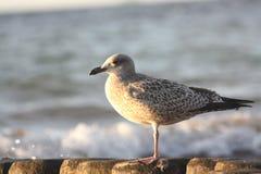 Grey Seagull sammanträde på vågbrytare på det baltiska havet royaltyfri fotografi