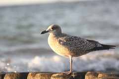 Grey Seagull sitting on groyne at the baltic sea royalty free stock photography