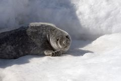 Grey seal. (Halichoerus grypus) in the Canadian arctic royalty free stock images