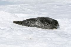 Grey seal Royalty Free Stock Photo