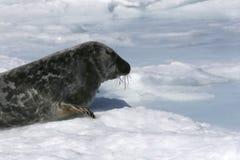 Grey seal Stock Image