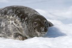 Grey seal Stock Photography
