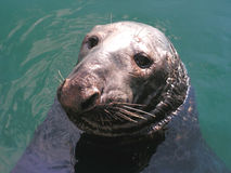 Grey Seal. A Common Seal pops up at the side of the boat to beg for fish. A big old Bull Seal Stock Photos