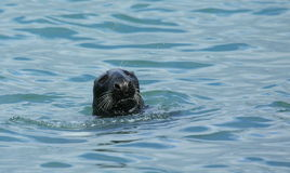 Grey seal. Stock Photography