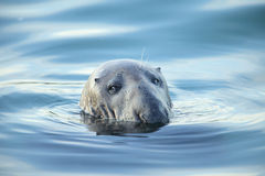 Grey seal. Royalty Free Stock Photo