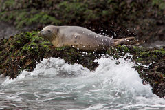Grey Seal. A grey seal resting on a rock out at sea Stock Photo