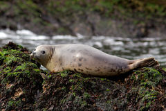 Grey Seal. A grey seal resting on a rock out at sea Royalty Free Stock Photography