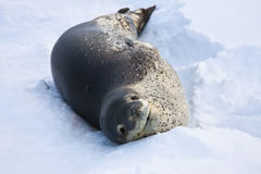 The grey seal. Has a rest  in Antarctica Stock Photography