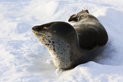 The grey seal. Has a rest  in Antarctica Stock Images