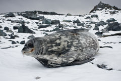 The grey seal Royalty Free Stock Photos