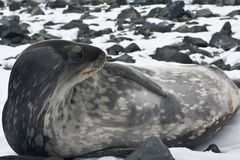 The grey seal Royalty Free Stock Image