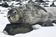 The grey seal. Has a rest on stones in Antarctica Stock Photo
