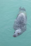 Grey seal. Royalty Free Stock Image