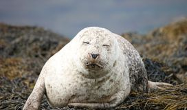 Grey Seal. Royalty Free Stock Images