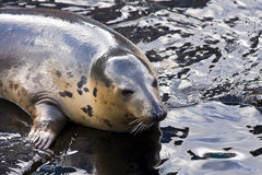 Grey seal. Playing grey seal (Halichoerus grypus royalty free stock photography