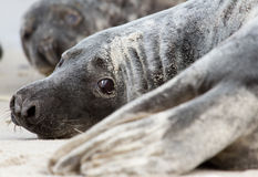 A grey seal. On the beach Stock Photo