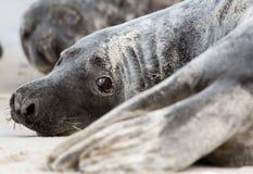 A grey seal Stock Photo