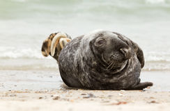 A grey seal. On the beach Stock Photos