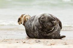 A grey seal Stock Photos