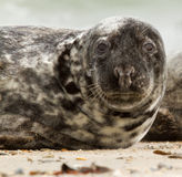 A grey seal. On the beach Royalty Free Stock Images