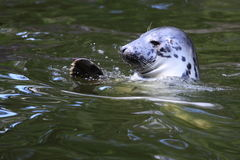 Grey seal royalty free stock photos