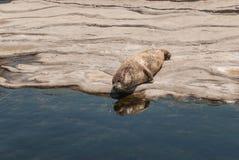 Grey Seal Fotografia Stock Libera da Diritti