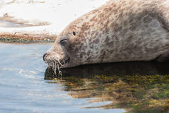 Grey Seal Stock Foto's