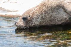 Grey Seal Imagen de archivo libre de regalías