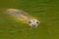 Grey Seal Imagens de Stock