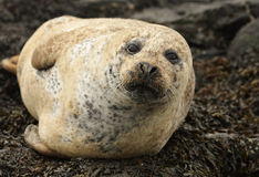 Grey Seal Stock Fotografie