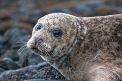 Grey Seal Fotos de archivo