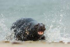 Grey Seal-aanval Royalty-vrije Stock Afbeeldingen