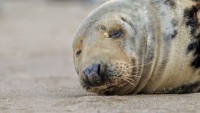 Grey Seal addormentato sulla spiaggia Fotografie Stock Libere da Diritti