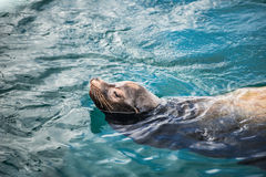Grey seal, also known as the Atlantic seal. Royalty Free Stock Photos