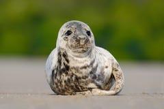 Grey Seal atlântico, grypus de Halichoerus, retrato do detalhe, na praia de Helgoland, Alemanha Imagem de Stock