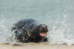 Grey Seal attack Royalty Free Stock Images