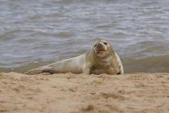 Grey Seal auf dem Strand Stockbild