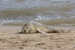 Grey Seal auf dem Strand Stockbilder