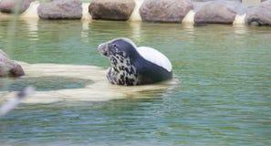 Grey Seal av sidan Royaltyfria Bilder