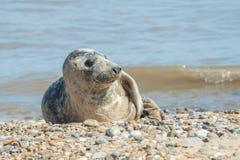 Grey seal basking Royalty Free Stock Photography