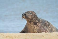 Grey seal basking Stock Image