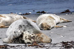 Grey seal at the beach Stock Image