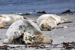 Grey seal at the beach Stock Image