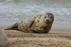 Grey Seal on beach. Stock Images