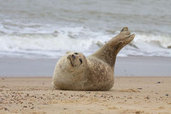 Grey Seal on beach. Royalty Free Stock Photography