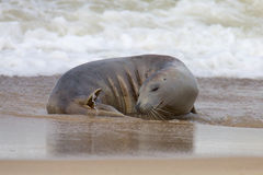 Grey Seal on beach. Royalty Free Stock Images