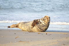 Grey seal on the beach. In the sun Royalty Free Stock Image