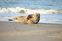 Grey seal on the beach Royalty Free Stock Photos