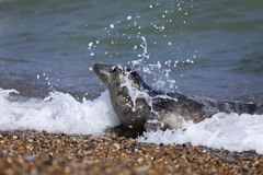 Grey seal on beach royalty free stock photos