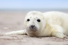 Grey seal with big opened eyes Royalty Free Stock Images